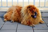 image of chow  - Brown chow chow dog living in the european city - JPG