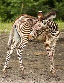 Grevy Zebra Calf