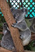 Baby Koala Sitting In A Tree