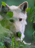 image of lupus  - Portrait of Canis Lupus or Gray Wolf Eyes