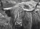 Scottish Cow In Lewis Isle. Hebrides. Uk