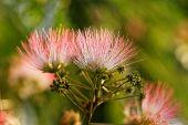 Flowers Of Acacia
