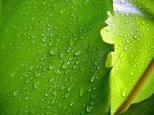 water drop on banana leaf