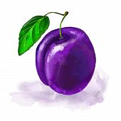 fruit plum Vector illustration  hand drawn  painted watercolor
