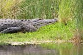 pic of bayou  - Large American alligator basking in the sun along the shore of a Florida waterway - JPG