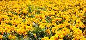 stock photo of carnation  - Yellow carnations in full field horizontal image - JPG