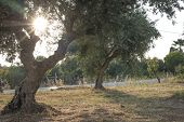 pic of olive trees  - Olive trees and sun rays - JPG
