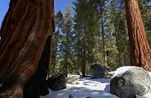 stock photo of sequoia-trees  - Sequoia National Park is a national park in the southern Sierra Nevada east of Visalia, California, in the United States. The park is famous for its giant sequoia trees, including the General Sherman tree, one of the largest trees on Earth. - JPG