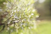 stock photo of willow  - Blurred abstract background with bokeh with branches of willow. ** Note: Shallow depth of field - JPG