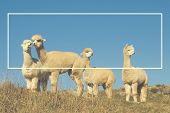 picture of lamas  - Alpaca Lama Shaggy Field Mountain Animals Concept - JPG