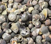 foto of snail-shell  - Snail shells from the Scottish coast at South Queensferry - JPG