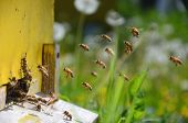 pic of honey bee hive  - Busy bees returning with honey and pollen in apiary in the springtime