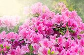 picture of azalea  - Flowers of Rhododendron (Azalea) after rain at sunset time. ** Note: Visible grain at 100%, best at smaller sizes - JPG