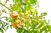 picture of cannonball-flower  - Young Sala or Cannon Ball Cannon Ball Tree Sal Tree Sal of India - JPG