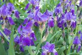 picture of purple iris  - close up of purple iris flowers - JPG
