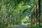 foto of row trees  - Road Between Row of expired para rubber tree and palm tree - JPG