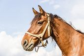 stock photo of harness  - Head brown horse with a harness against sky - JPG