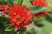 foto of southeast  - Bright red tropical flower in bloom Koh Samui Thailand Southeast Asia  - JPG