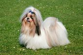 picture of dog breed shih-tzu  - The portrait of funny Shih Tzu dog in the spring garden - JPG