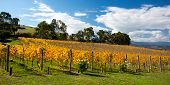 stock photo of vines  - Lush golden vines in autumn at a winery in the Yarra Valley, Victoria, Australia