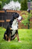 picture of greater  - one greater swiss mountain dog outdoors in summer - JPG