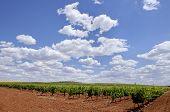pic of tierra  - Vines plantation fields at Tierra de Barros Region with its unique red soil Extremadura Spain - JPG