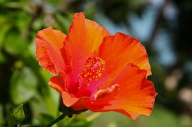 image of southeast  - Bright red tropical flower in bloom Koh Samui Thailand Southeast Asia - JPG