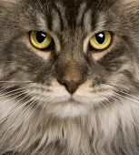 close up of a Maine Coon (2 years old) or coon cat, maine cat, maine shag