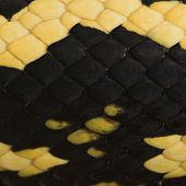 Close-up of Morelia spilota variegata snake scales, a subspecies of python