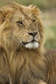pic of lions-head  - Close - JPG