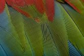 Red-and-green Macaw, close up on feathers