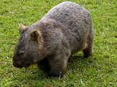 stock photo of wombat  - wombat on grass