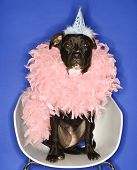 Black mixed breed dog wearing party hat and feather boa.