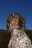 German Shorthaired Pointer with squinty eyes against blue sky.