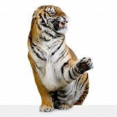 Tigre parece gruñido