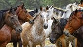 Horse Herd - Center of Attention