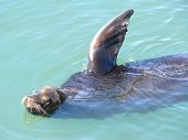Sea-lion Waves