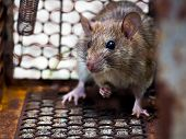 The Rat Was In A Cage Catching A Rat The Rat Has Contagion The Disease To Humans Such As Leptospiros poster
