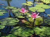 Bela piscina de flor de lótus