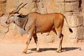 Eland Antelope on a sandy hot environment
