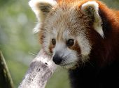 Red Panda Close-up
