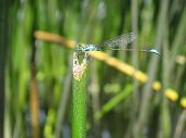 The Blue Dragonfly Crouched On The Edge Of The Reed Edge poster