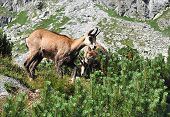 Wild Animal Chamois And Fauna And Flora In Mountains poster