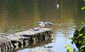 Gull Ready To Flight
