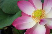 foto of corbel  - A lotus or water lily flower in asia - JPG