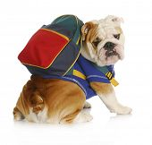 dog obedience school - english bulldog wearing blue shirt and matching back pack looking at viewer