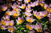 Blooming pink tulips Tulipa saxatilis in Keukenhof garden, also known as the Garden of Europe, one o poster