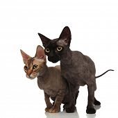 two cute cats standing together and look to side on white background poster