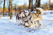 Sled Dogs Siberian Husky Harnessed Sports Sledding poster