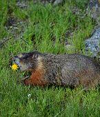 marmot dinner